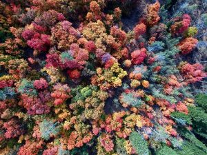 top top down drone pic of autumn coloured forest